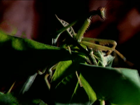 army ants crawling over plant ms praying mantis climbing to top of plant cu ants crawling up leaf cu praying mantis flying off top of plant south... - carnivorous plant stock videos and b-roll footage