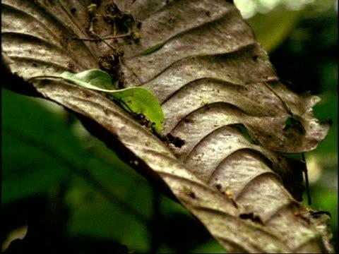 mcu army ants (eciton) moving along leaf, brazil - tierfarbe stock-videos und b-roll-filmmaterial