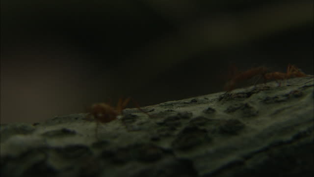 army ants scurry across a log. - insect stock videos & royalty-free footage