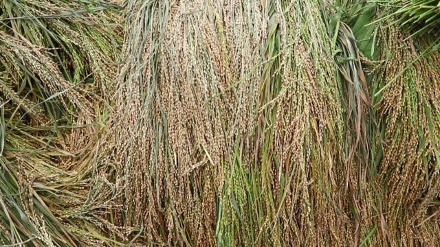 aromatic paddy in dhaka - 麦わら帽子点の映像素材/bロール