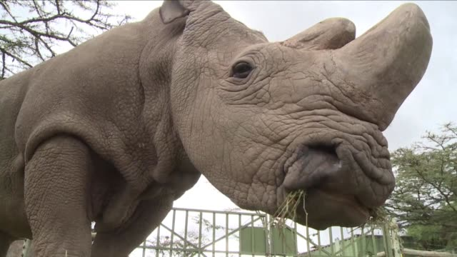 around 10 million us dollars is needed for a pioneering in vitro fertilization programme to save the northern white rhino a species of which there is... - direttrice video stock e b–roll