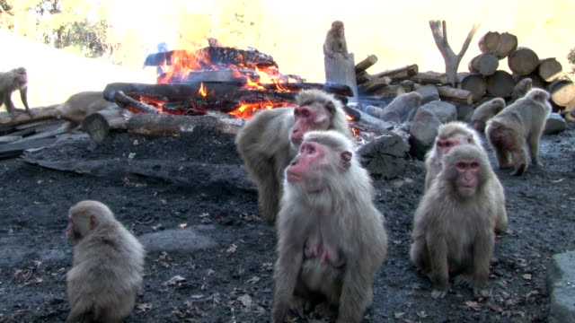 around 150 monkeys surrounding a bonfire are shown to the media on dec 20 at the japan monkey center in inuyama aichi prefecture the public will be... - baked potato stock videos & royalty-free footage