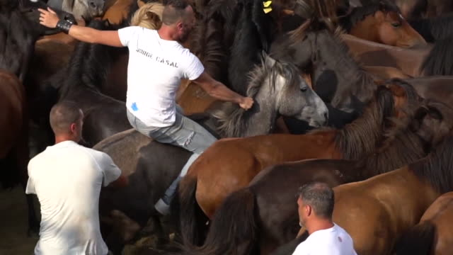 around 1800 people have attended the traditional festival of the 'rapa das bestas' where more than 30 people face 200 wild horses to which they cut... - cut video transition stock videos and b-roll footage
