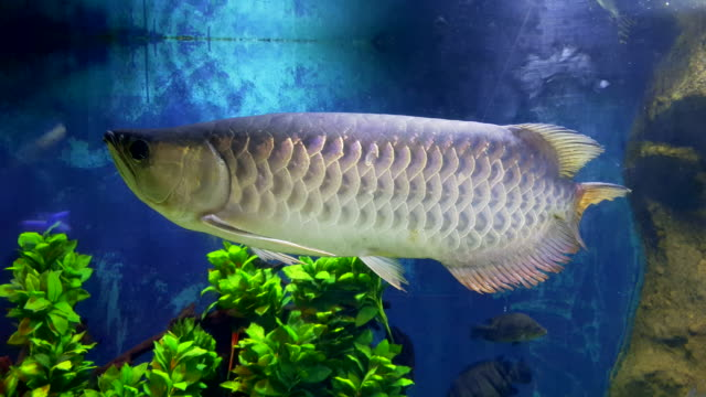 arowana fish in the aquarium. - fish stock videos & royalty-free footage