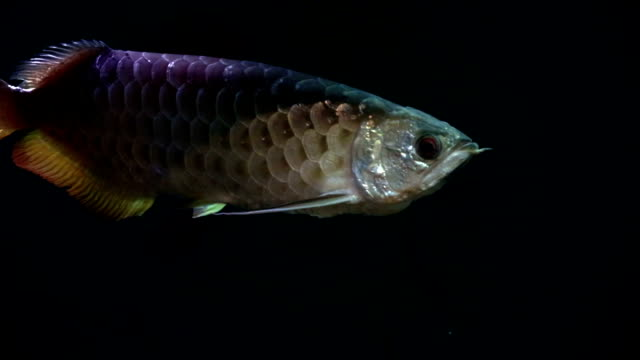 arowana fish - luck stock videos & royalty-free footage