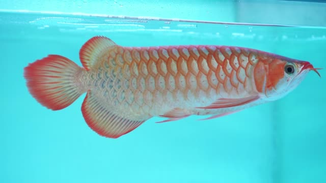 arowana in aquarium, a favorite fish - scaly stock videos & royalty-free footage