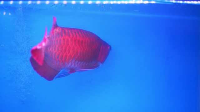 arowana in aquarium, this is a favorite fish with long body - tail fin stock videos & royalty-free footage