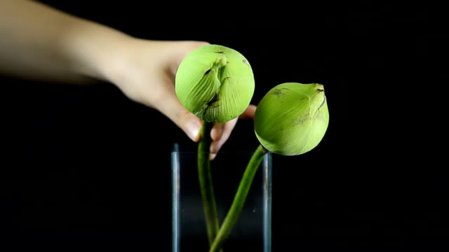 arrange a lotus flower in a glass vase - vase stock videos & royalty-free footage