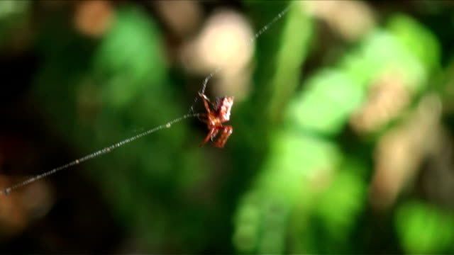 arrowhead orb weaver weaves a strong web string support line - string stock videos & royalty-free footage