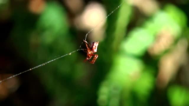 stockvideo's en b-roll-footage met arrowhead orb weaver weaves a strong web string support line - koord