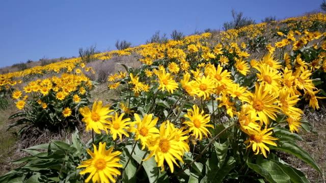 arrowleaf balsamroot wildflower - common sunflower stock videos & royalty-free footage
