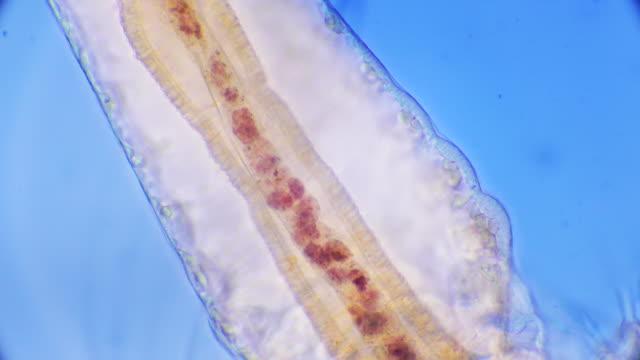 artemia internal organs - zoology stock videos & royalty-free footage