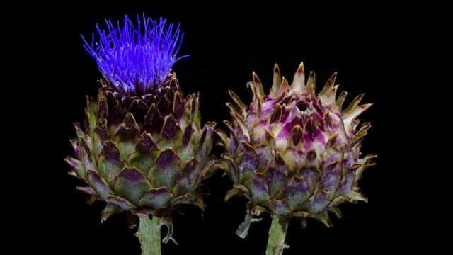 artichoke blooming time lapse - thistle stock videos & royalty-free footage