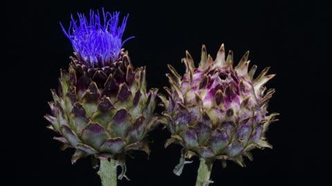 artichoke blooming time lapse - flower head stock videos & royalty-free footage