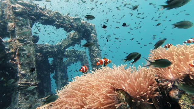 artificial coral reef nursery containing clown fish in sea anemone underwater environmental conservation project - scuba diving stock videos & royalty-free footage