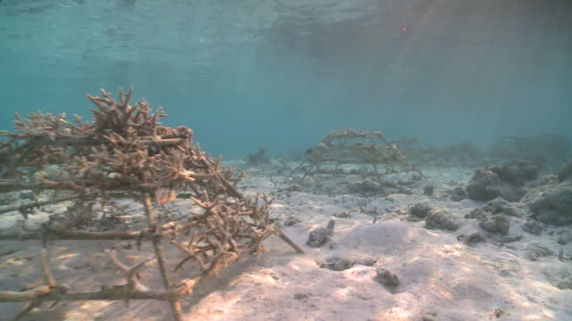 artificial reef structures with newly planted hard coral bits, baa atoll, the maldives - 復元する点の映像素材/bロール