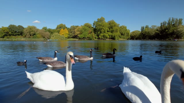 stockvideo's en b-roll-footage met as autumn arrives clear blue skies are reflected in the water of the regents park boating lake with waterfowl gently moving across its surface - koet