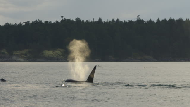 PAN as group of Orcas surface and breathe with coastline in background and reveal whalewatching boat in foreground