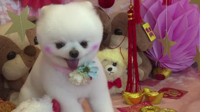 As Hong Kong welcomes the Year of the Dog pet owners are pushing out the boat more than ever to ensure their pooches are glossed and spritzed with...