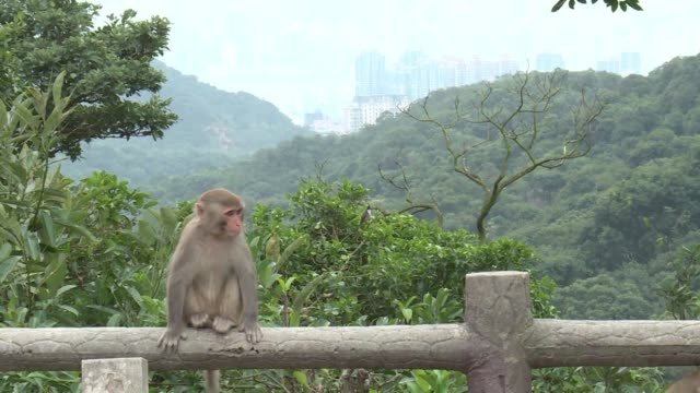 as hong kongers welcome and celebrate the year of the monkey animal experts are working to keep the peace between the apes and their human neighbours - working animal stock videos & royalty-free footage