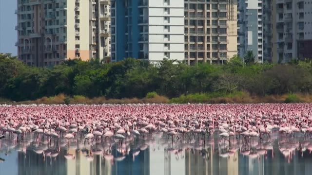 as india remains quiet with the ongoing coronavirus lockdown, tens of thousands of flamingos have unusually chosen to relax at a lake in front of... - flamingo bird stock videos & royalty-free footage