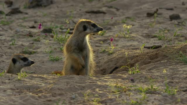 pan as meerkats emerges from burrow at dawn backlit - auftauchen stock-videos und b-roll-filmmaterial