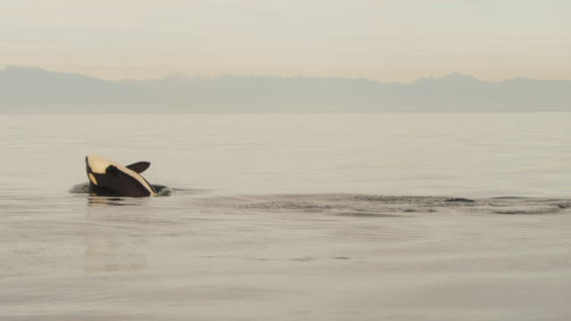 PAN as Orca dives then backflips in flat calm sea