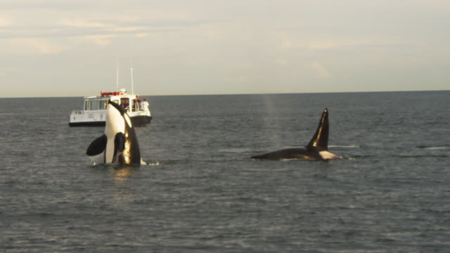 vidéos et rushes de pan as orca spyhops then swims past whalewatching boat - épaulard