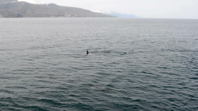 As passengers watched in delight a pod of about 30 killer whales blew spouts of water high in the air and swam as if leading their cruise ship on...
