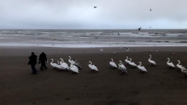 As Storm Caroline sweeps across the UK a local woman Mille Kim leads the swans across a windy Ardrossan beach on the North Ayrshire coast in Scotland...