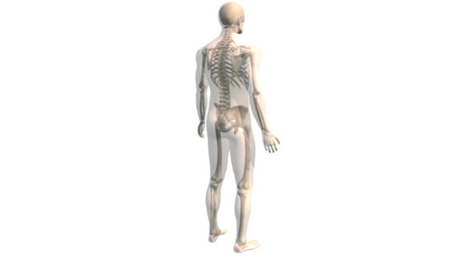 as the camera pans down, a model of the male body rotates and dissolves to reveal the skeletal and lymphatic systems. the camera then zooms in on the torso. - lymphsystem stock-videos und b-roll-filmmaterial