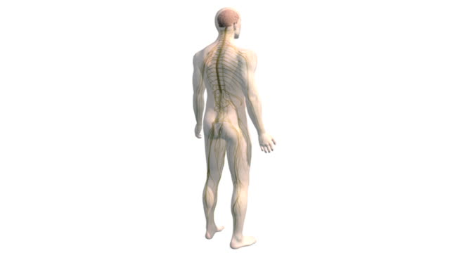As the camera pans down, a model of the male body rotates and dissolves to reveal the brain and central nervous system.  The camera then zooms in on the torso.