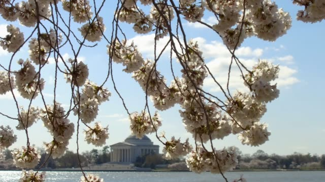 as the thomas jefferson memorial is seen in the background cherry trees are in full bloom at the tidal basin april 1 2019 in washington dc the... - thomas jefferson stock videos & royalty-free footage