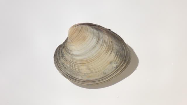 asari clam in the water