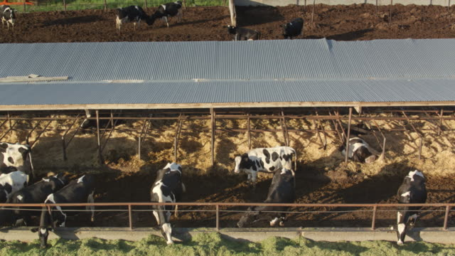 Ascending Drone Shot of Dairy Cows Feeding