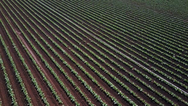 Ascending Drone Shot Over Rows of Vegetables in Salinas Farm