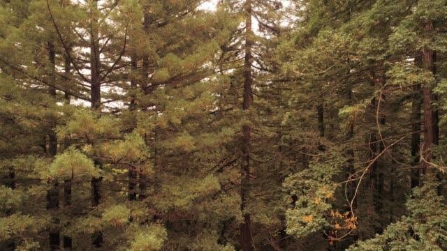 stockvideo's en b-roll-footage met oplopend van de grond naar de top van de bomen. het bos van de sequoias in noord-californië, usa west coast - sequoiafamilie