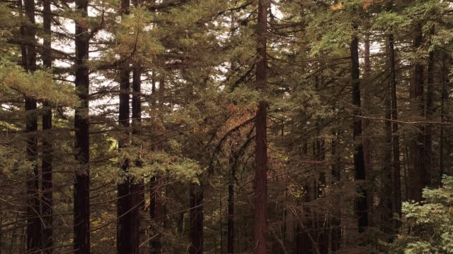 ascending from the ground to the top of the trees. the forest of sequoias in northern california, usa west coast - redwood forest stock videos and b-roll footage