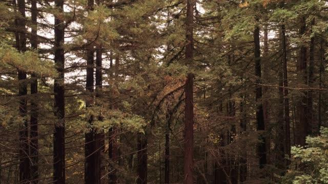 vídeos de stock, filmes e b-roll de subindo do chão até o topo das árvores. a floresta de sequoias no norte da califórnia, eua costa oeste - parque nacional de redwood