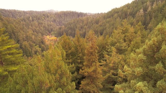 ascending from the ground to the top of the trees. the forest of sequoias in northern california, usa west coast - moving up stock videos & royalty-free footage
