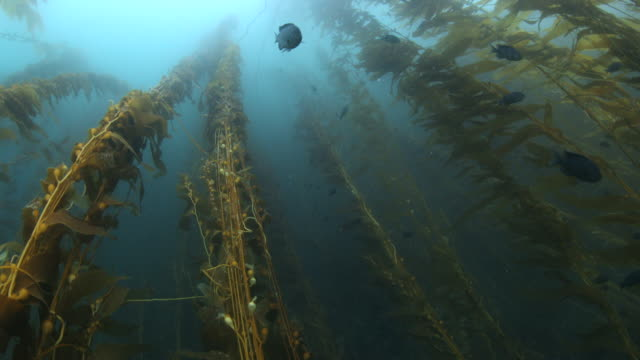 Ascending through a large Kelp Forest at Anacapa Island in the Channels Islands - Extreme Wide