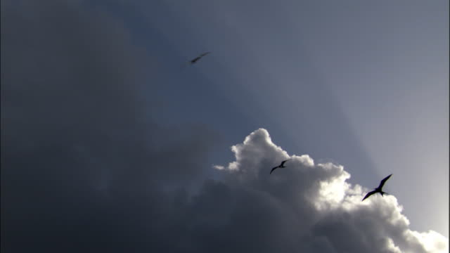 Ascension frigate birds (Fregata aquila) and masked boobies (Sula dactylatra) soar overhead, Ascension Island