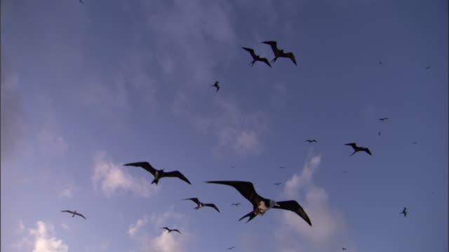 Ascension frigate birds (Fregata aquila) fly overhead, Ascension Island