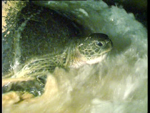 ascension island and central east atlantic, adult green sea turtle (chelonia mydas) entering the sea at night. - aquatic organism stock videos & royalty-free footage