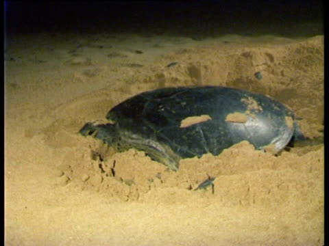 ascension island and central east atlantic, ms green sea turtle (chelonia mydas) and hatchlings on beach. - scavare video stock e b–roll