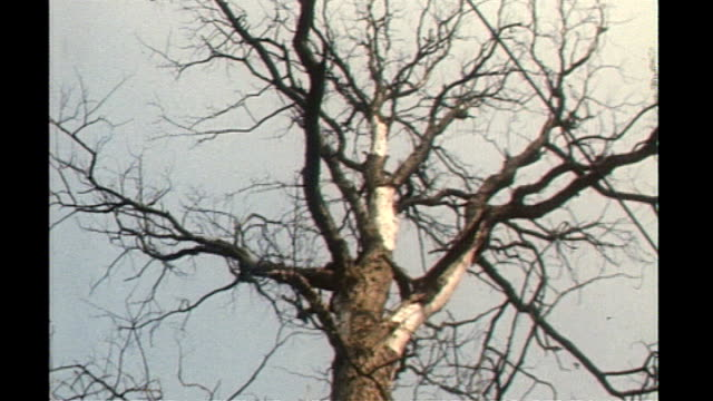 imports of ash trees to be banned 1978 location unknown gv diseased elm tree elm tree felled - ash tree stock videos & royalty-free footage