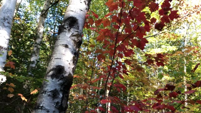 ash tree and forest canopy in rangeley, maine usa during autumn - ash stock videos & royalty-free footage