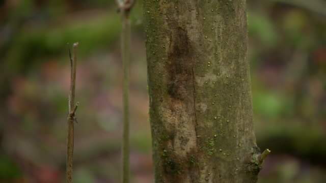 ash tree bark affected ash dieback - ash tree stock videos & royalty-free footage