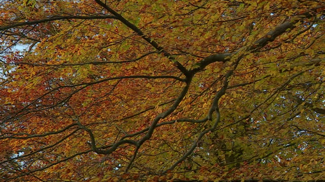 ash tree leaves in autumn - ash tree stock videos & royalty-free footage