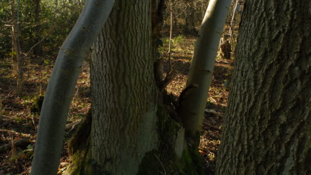 t/l ash (fraxinus sp.) tree trunk shadows take 1, woodland, uk - ash tree stock videos & royalty-free footage